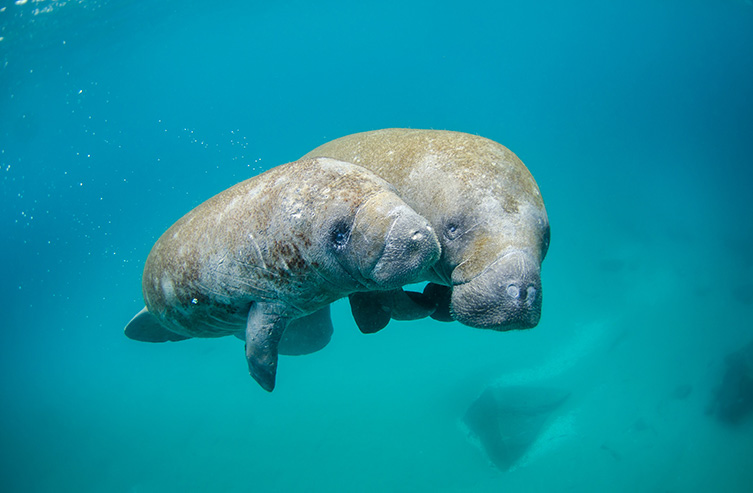Mother manatee and calf swimming out of the inlet